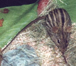 des photos sur quelques mammifères de Tiaret Zebramuis1